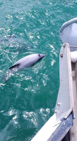 Hector's dolphins playing round the boat