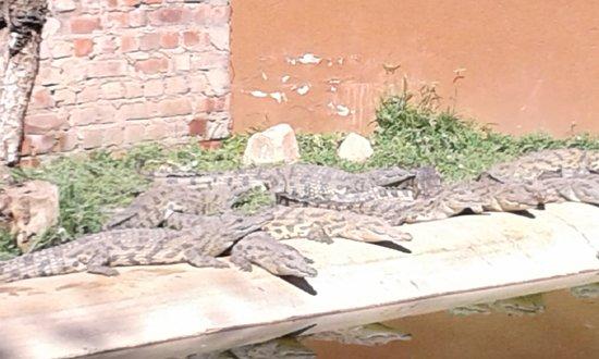 Crocodile Ranch: Da 4-5 anni