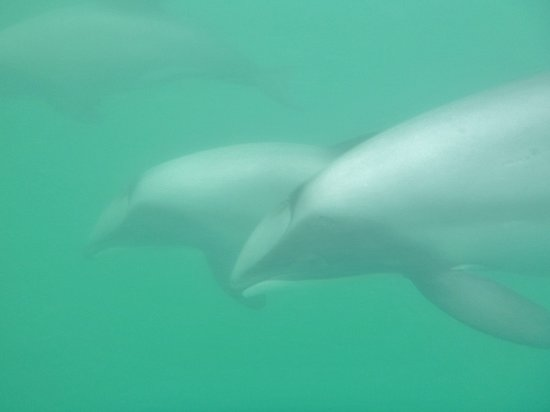 Swimming with Wild Dolphins in Akaroa: Hector's dolphins