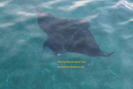 Komodo Island Tour: Manta Ray in Manta point