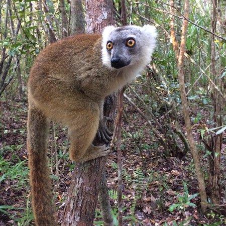 Palmarium Hotel: The most beautiful and sweet lemur I met: crown lemur!