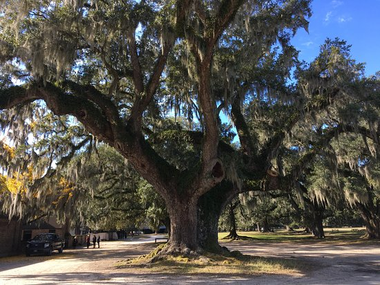 Ancient live oaks have seen so much in their life.