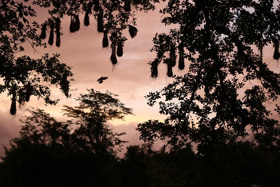 sunset backdrop to the cacique bird sack nests