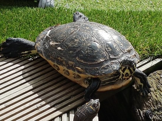 Графство Чешир, UK: Big Mo - Some of our rescue animals 🐢