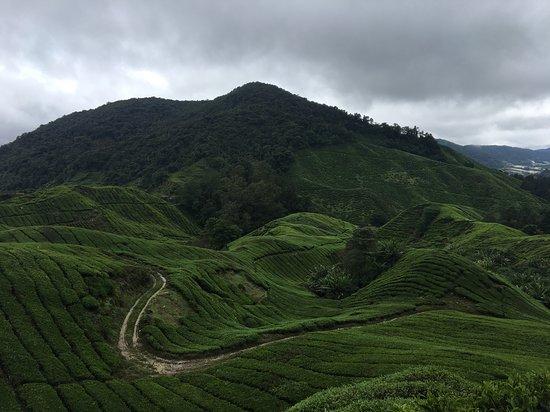 Cameron Highlands, Malaysia: boh tea plantation