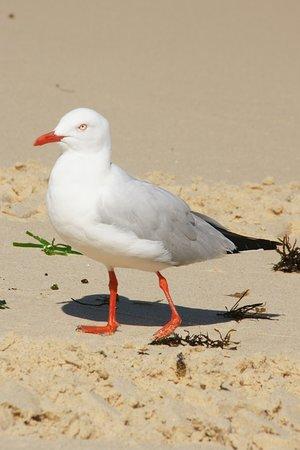 Bondi Beach: meeuw