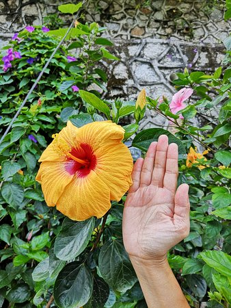 Penang Hill: The Hisbiscus, Malaysia's national flower