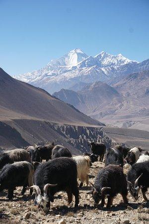 Dhaulagiri Zone, نيبال: Dhaulagiri während des Aufstiegs von Kagbeni nach Muktinath (hintenrum via Jhong)