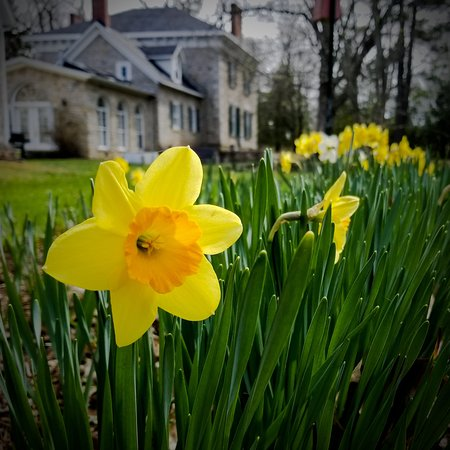 Newboro, Kanada: View from the gardens of daffodils in early May.