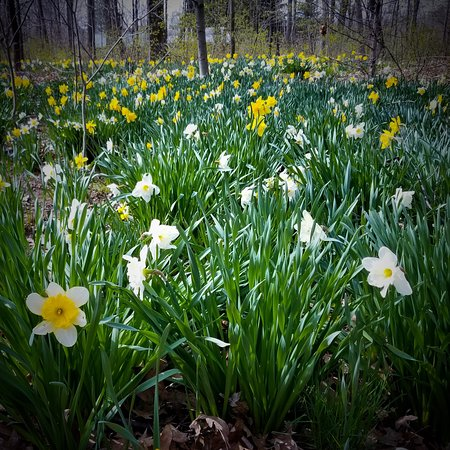 Newboro, Kanada: Daffodil beds in early May.