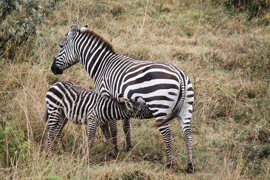 Jumbo Kenya Safaris: Zebres