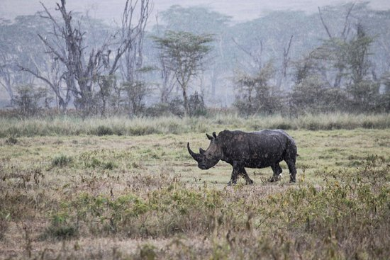 Jumbo Kenya Safaris: Lac Nakuru Rhino