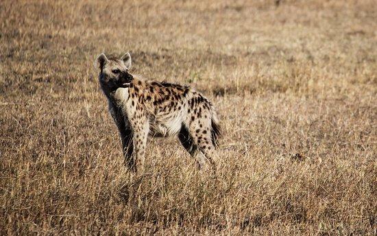 Jumbo Kenya Safaris: Masai Mara Hyenne