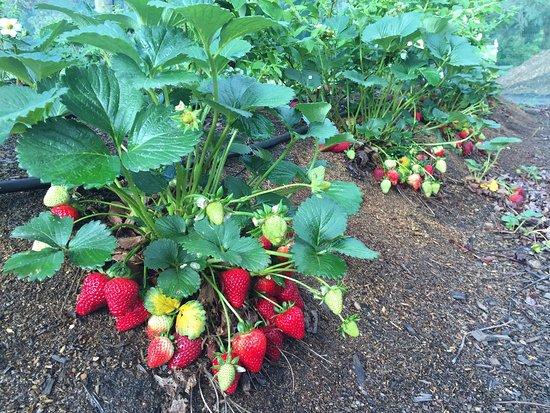 Otway Strawberries