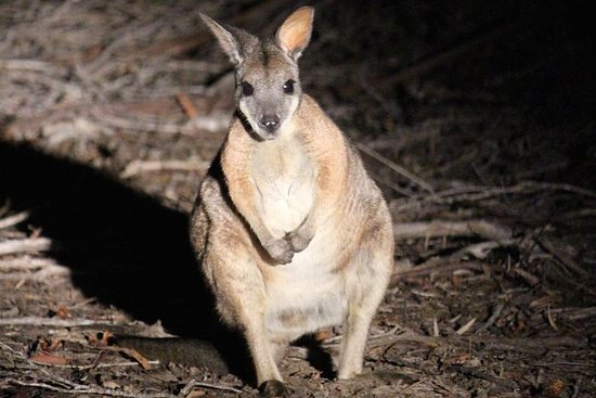Small-Kangaroo Island 4WD Night Tour