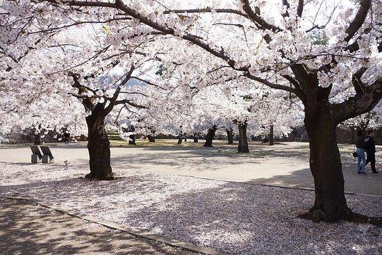 Kirschblüten- und...