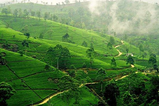 Teefahrt in Nuwara-Eliya mit MTH