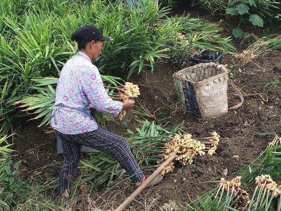 Гуйчжоу, Китай: Ginger farmer in Guizhou