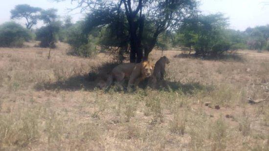 Shidolya Tours and Safari: lions having their moment