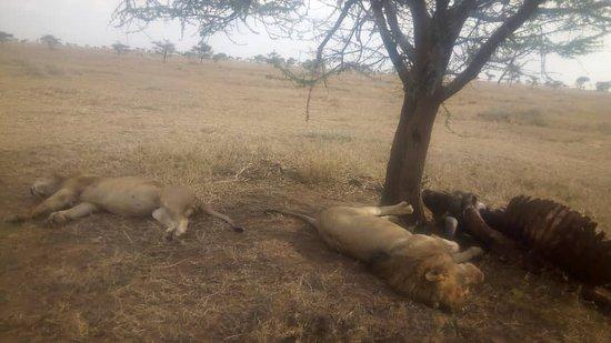 Shidolya Tours and Safari: lions
