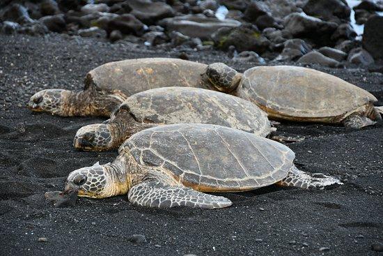 Big Island in a Day: Volcanoes, Waterfalls, Sightseeing, History: Green sea turtles