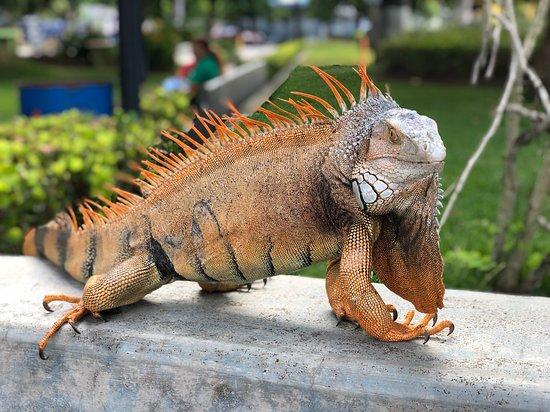 A beautiful alpha-male iguana peacocking for us