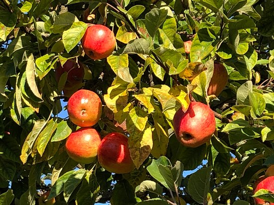 Wiek, Jerman: The old apple trees still provides us plenty of tasty apples - help yourself to one or many - they are just perfect for your muesli or a healthy snack on the go... We actually produce our own apple juice - you will find a complementary pack in the fridge upon arrival (if still availabel - our guests just love it!) .
