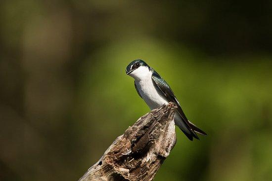 Mangrove swallow
