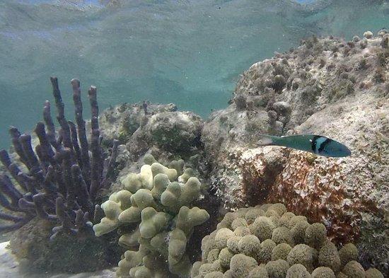 Califlower coral