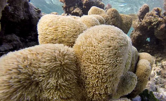 Hairy coral