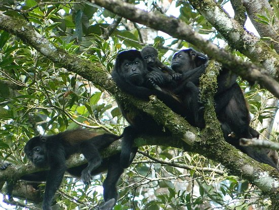 Tortuguero National Park: howler monkey family