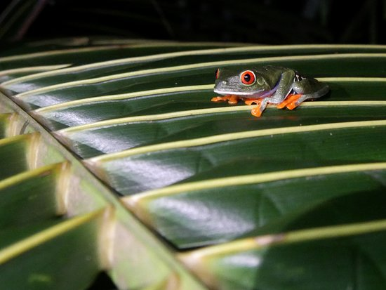Tortuguero National Park: the iconic costa rican frog