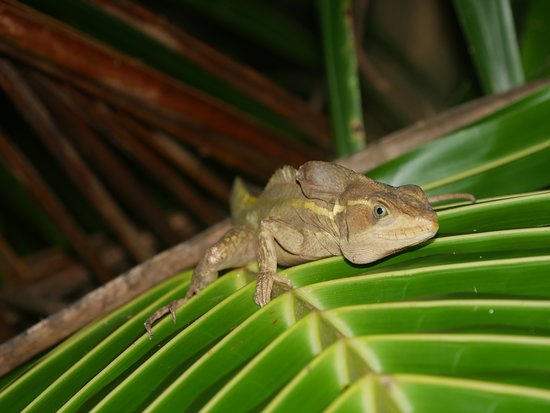 Tortuguero National Park: late night lizards