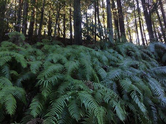 ウラジロ Holy ferns