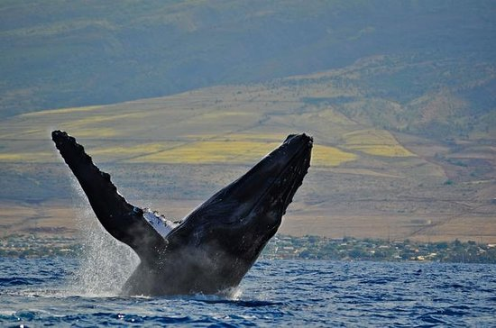2-Hour Maui Whale Watching Catamaran...