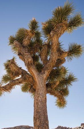 majestic joshua tree