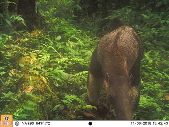 Giant Anteater caught of wildlife camera in the reserve.