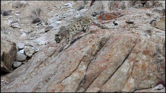 Leh, India: Snow Leopard . Big Himalayan Cat in Ladakh.