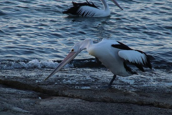 Kangaroo Island Luxury Small Group 'Flinders Chase Focus' Full Day Tour: A pelican on the beach