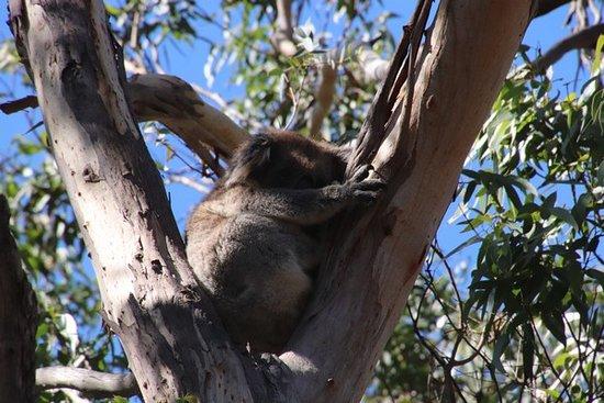 Kangaroo Island Luxury Small Group 'Flinders Chase Focus' Full Day Tour: A koala in a tree