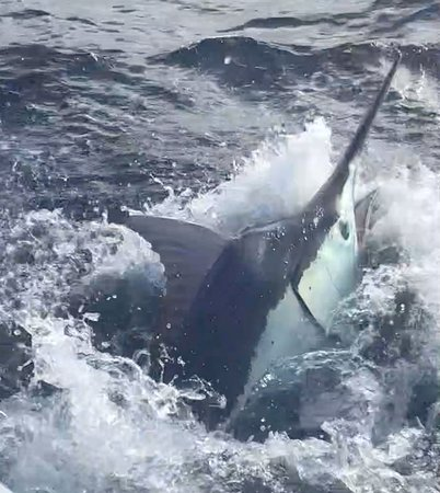 """Arnhem, Australia: A big """"Black Marlin"""" caught and released on the sport fisher """"Wild Turkey"""" with """"Australian Sportfishing Charters"""" out of Cairns, North Queensland, Australia."""