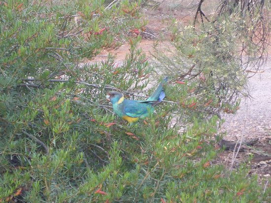 Rawnsley Park Station: Local Ring Neck Parrots