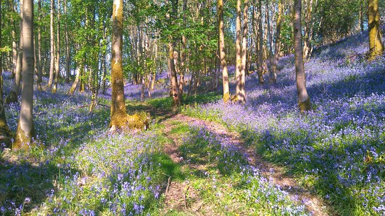 In April and May beautiful blue bells displays are a magnificent show in Witherslack and along the valley. (photo Phil Eccles)