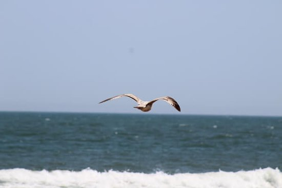 Оушен-Сити, Мэриленд: Our famous Ocean City seagulls, always on the lookout for Thrasher's fries.