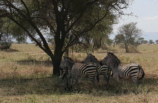 hot sun for the zebras