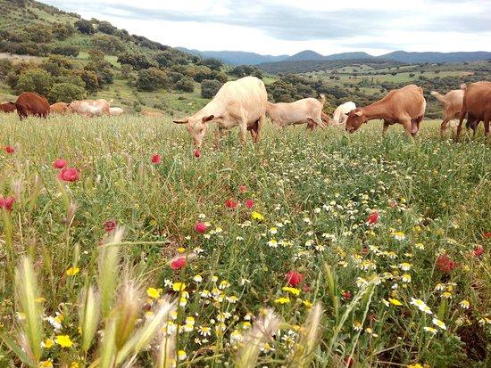 Los Navalucillos, Spain: Ganaderia en libertad