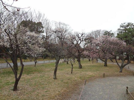 Замок Нидзё: Аллея фруктовых деревьев в цвету