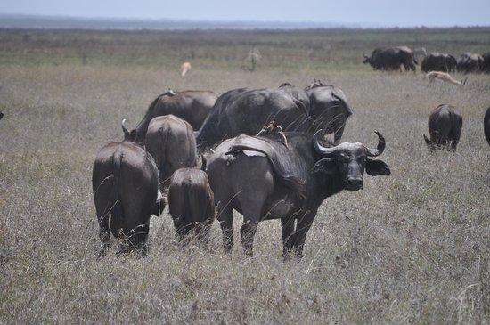 Tanzania Simba Safari - 5 Days: Buffalo