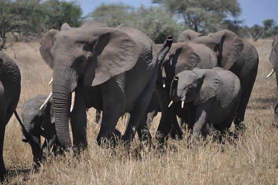 Tanzania Simba Safari - 5 Days: Elephants