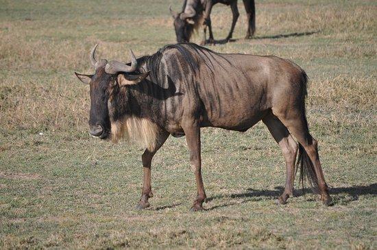 Tanzania Simba Safari - 5 Days: Wildebeast